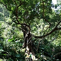 地標大茄冬樹