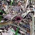 快枯掉的大武蜘蛛抱蛋,台灣特有種
