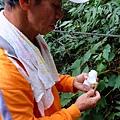 秋海棠莖可食用,味酸可生津解渴