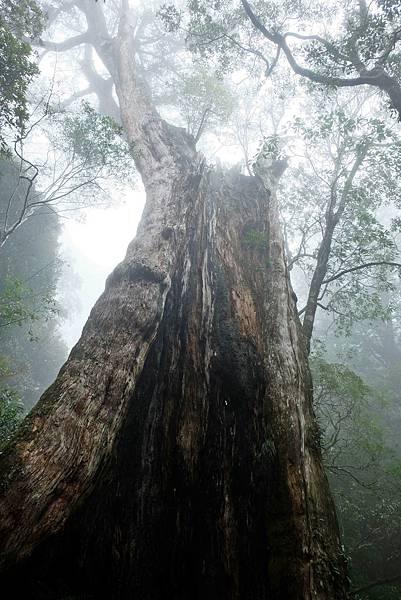 遇見北得拉曼第一號巨木