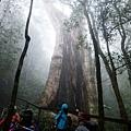 北得拉曼第一號巨木