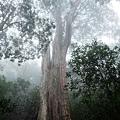 北得拉曼第二號巨木