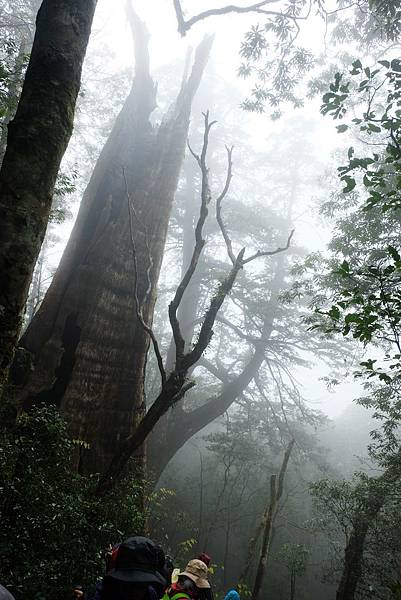 前往北得拉曼第三、四號巨木