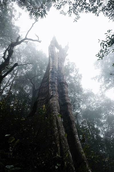 北得拉曼第三號巨木