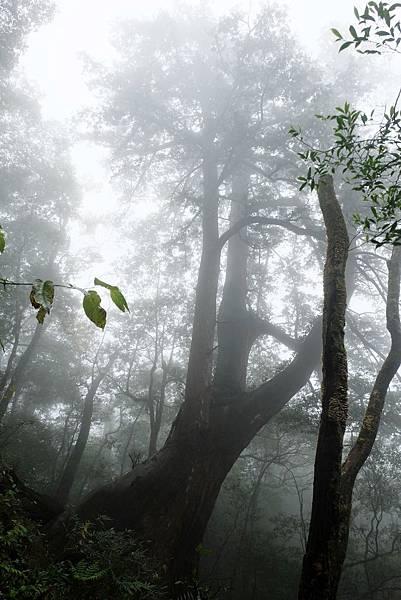 北得拉曼第四號巨木