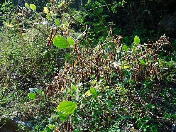 河床植物-山螞蝗