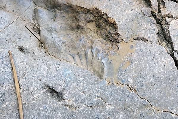 貝類化石痕跡