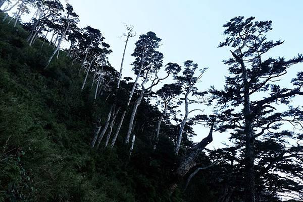 北大武山西麓鐵杉姿態