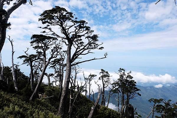北大武稜線鐵杉姿態