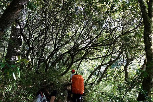 羊頭山登山步道1.2K杜鵑林