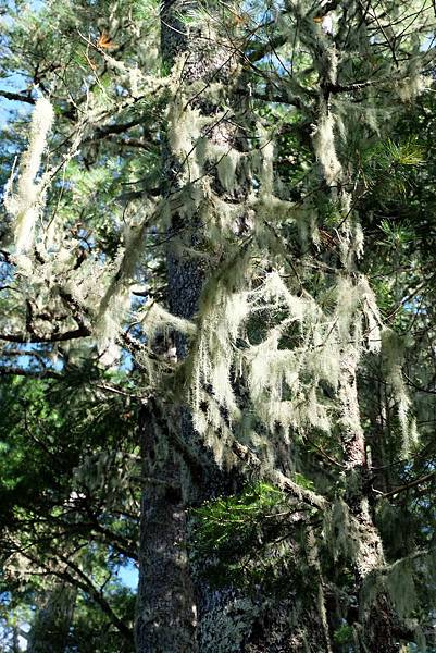 樹上附生植物-松蘿