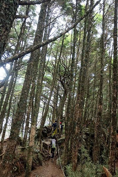 三叉路口出發走入鐵杉林稜線