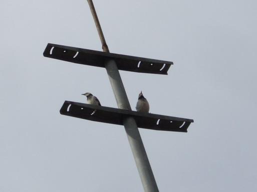 小碧潭網球場夜間設備燈管有2隻鳥兒駐足