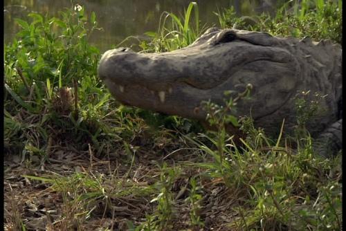 戰鱷 (1).jpg