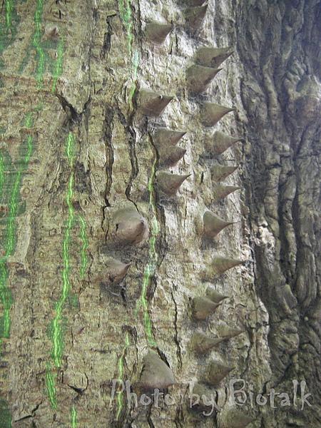 美人樹貼圖4.jpg