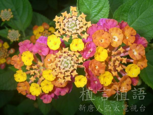 馬纓丹變色花浮水印.JPG