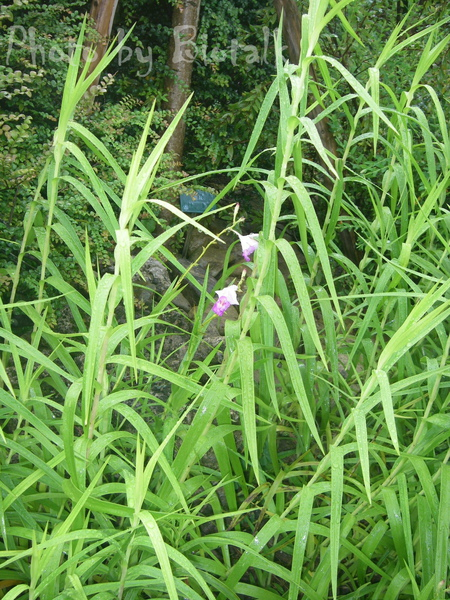 葦草蘭貼圖2.jpg