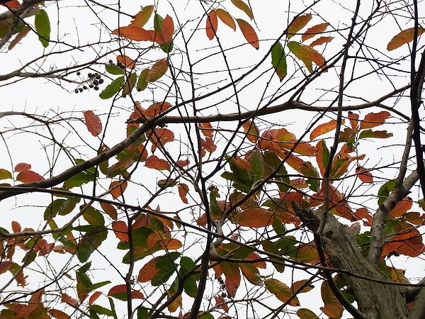 大花紫薇20100227-1.JPG