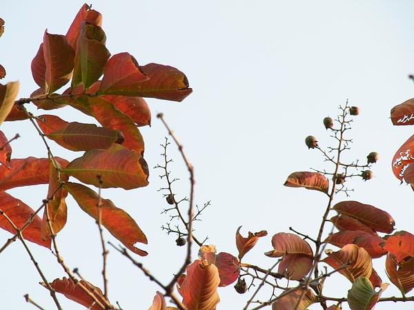 大花紫薇20100227-3.JPG