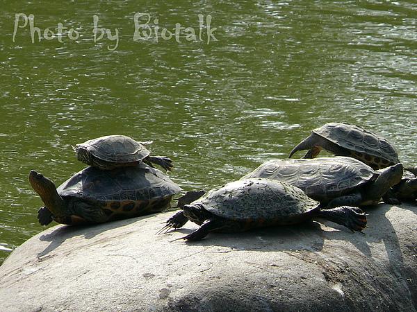 斑龜與巴西龜貼圖二.jpg