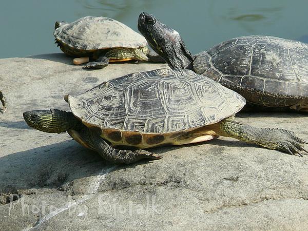 斑龜與巴西龜貼圖三.jpg