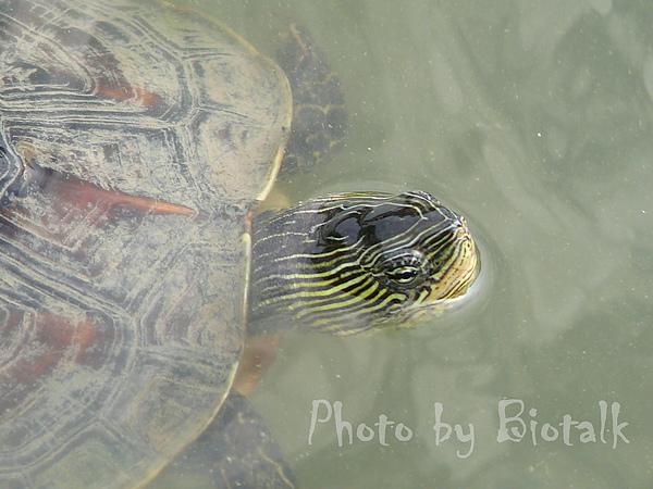 斑龜貼圖四.jpg