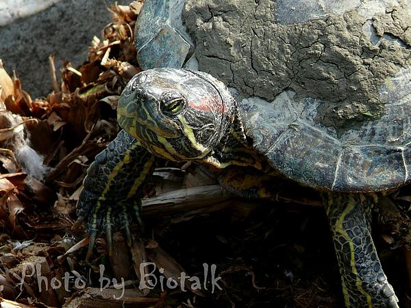 巴西龜貼圖五.jpg