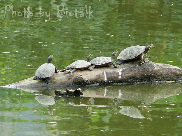 斑龜與巴西龜貼圖一.jpg