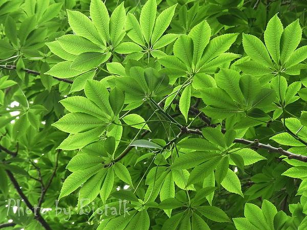 美人樹貼圖5.jpg