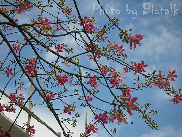 美人樹貼圖1.jpg