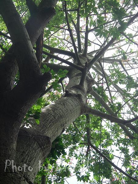 美人樹貼圖2.jpg