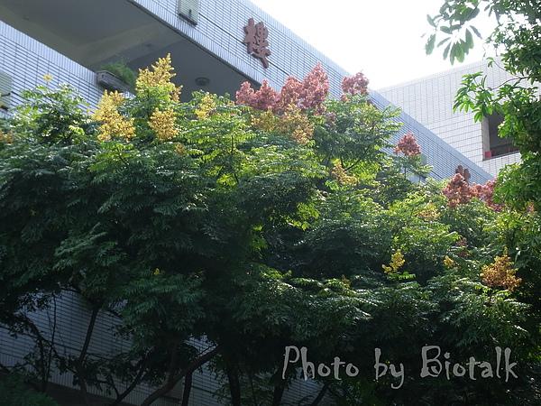 台灣欒樹貼圖1.jpg