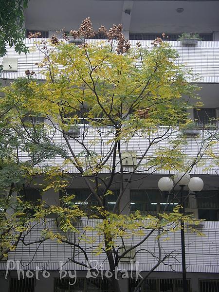 台灣欒樹貼圖6.jpg