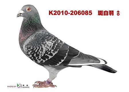 K.2010-206085 斑白羽公
