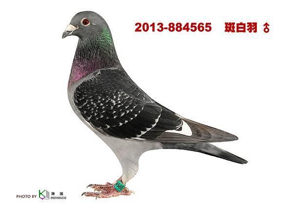 2013-884565 斑白羽公