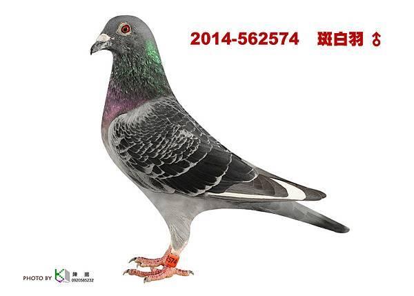 2014-562574 斑白羽公