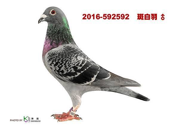 2016-592592    斑白羽公