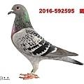 2016-592595    斑母