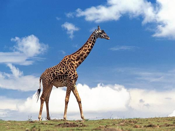 giraffe003