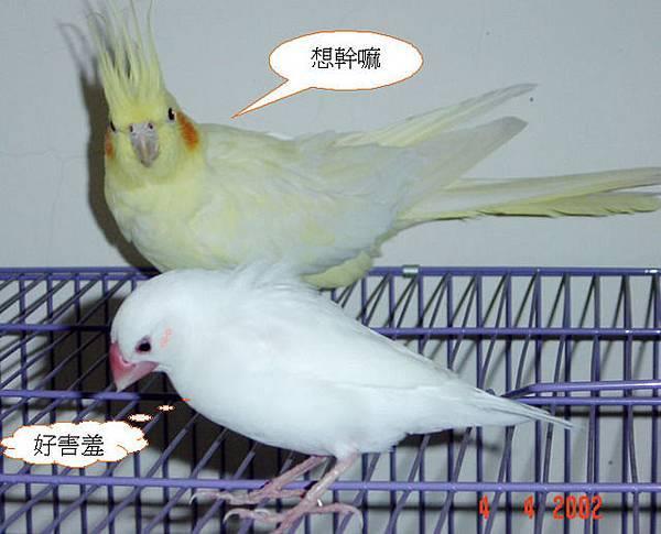 MOMO是困在文鳥身體裡的玄鳳