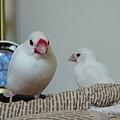 小雞與他的湯圓娘