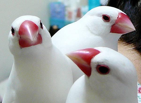 珍奇怪物三頭鳥