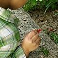 要把果實給螞蟻吃:)