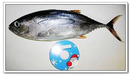 黃鰭鮪魚的大小.jpg