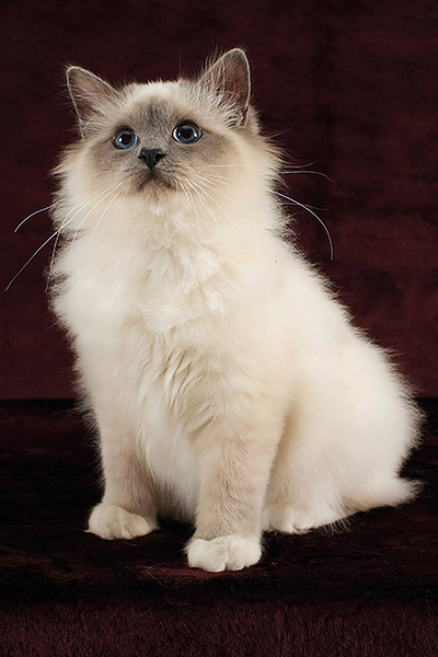 Silky-Angel Royal Blue (male) 3.jpg