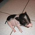 如果你是豬你就知道我在做啥