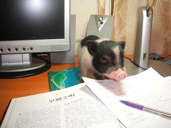 豬也是要念書