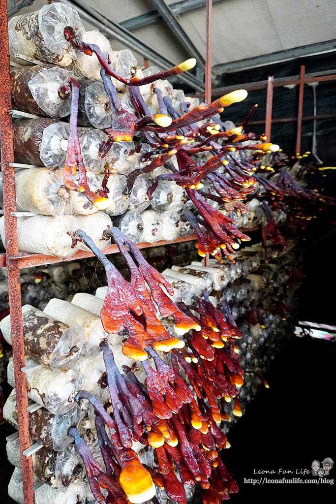 豐年靈芝菇類生態農場南投埔里親子景點推薦,走進菇菇樂園DIY菇菇披薩、採菇、踏青、爬木屑山DSC05043.jpg