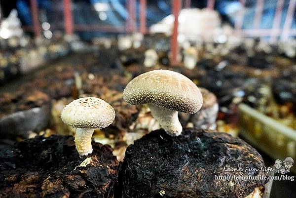 豐年靈芝菇類生態農場南投埔里親子景點推薦,走進菇菇樂園DIY菇菇披薩、採菇、踏青、爬木屑山DSC05112.jpg