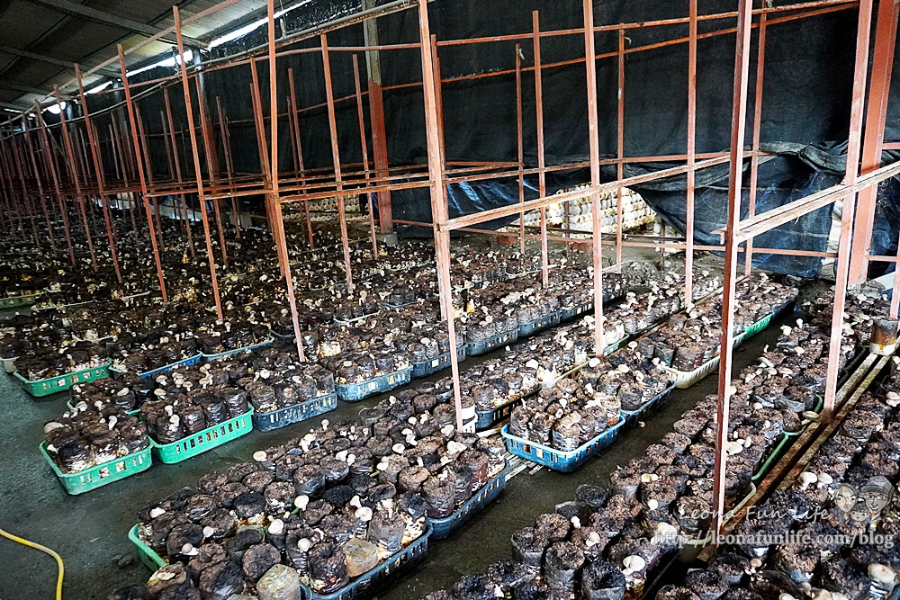 豐年靈芝菇類生態農場南投埔里親子景點推薦,走進菇菇樂園DIY菇菇披薩、採菇、踏青、爬木屑山DSC05113.jpg